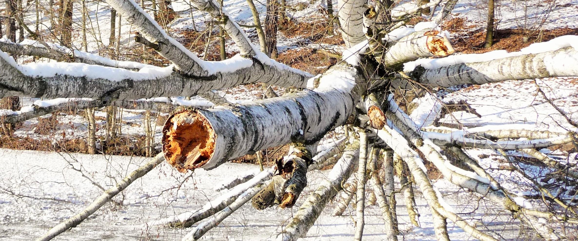 verschneite-birke
